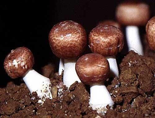 Viên nấm Agaricus Blazei Murill có tốt không-2